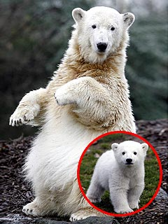 Polar Bear Knut Smacked on First Date (But It&#39;s a Good Thing!)