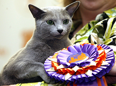 Russian Blue is Top Kitty at CFA-Iams Cat Show