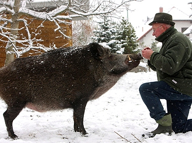 Funny Photo of the Day: A Spoon-fed Pig!