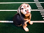 Puppy Bowl V Rocked by (Mock) Scandal