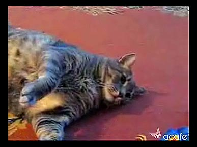 Friday's Funny Video: World's Biggest Cat Lays Down