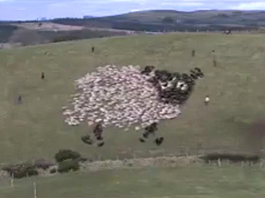 Funny Animal Video: Extreme Shepherding!