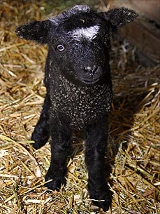 Central Park Zoo Welcomes Three Baby Lambs!