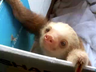 Friday's Funny Video: Sleepy Baby Sloth