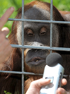 Whistling Orangutan Is Germany's Next Pop Star