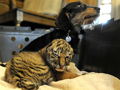 Bessie the Dog Plays Foster Mom to Abandoned Tiger Cub