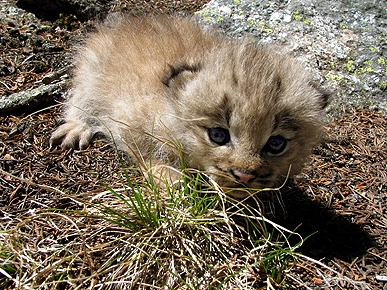 Amazing! 10 Rare Lynx Kittens Born in Colorado Wild