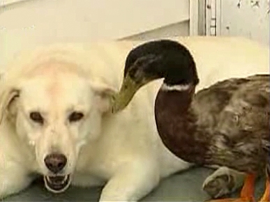 VIDEO: Sterling the Duck and Cleo the Dog Are BFFs!