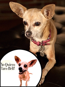 EXCLUSIVE: Taco Bell Spokesdog Gidget Dies at 15