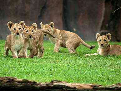 Roar! Baby Lion Cubs Make Their Debut in Virginia
