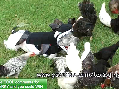 Wednesday's Funny Video: Chickens Walk All Over Sharky the Pit Bull