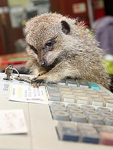 PHOTO: Clyde the Meerkat Works the Pet Shop Register!