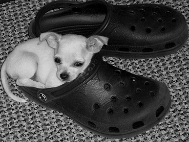 Animal 'D'Oh!': Zoie the Chihuahua Is a Croc-Lover!