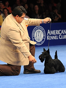 Sadie, Scottish Terrier, Wins Best in Show at National Dog Show