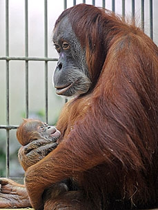 PHOTO: Dodi the Newborn Orangutan Cuddles Up to Mom