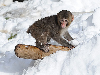 PHOTO: Baby Monkey Snowboards Through Central Park!