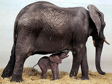 German Zoo Welcomes Petite Female Elephant. JOCHEN LUEBKE/EPA/Corbis