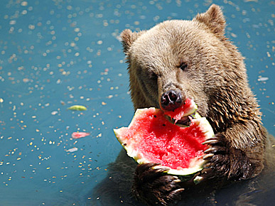 PHOTO: Brown Bear Meets a Pink Watermelon
