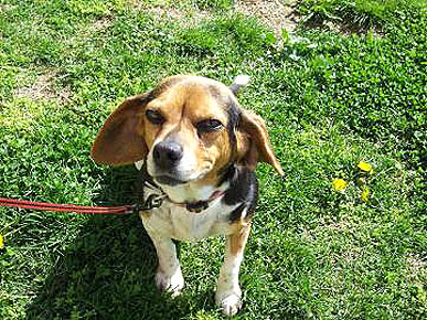 Adopt Me! Beagle Mix Butters Will Make Your Heart Melt