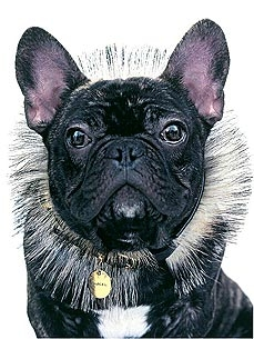 Marcel the French Bulldog Becomes New Face of Nars Cosmetics