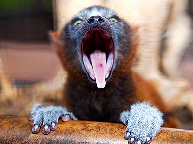 PHOTO: Newborn Lemur Is a Scream at Busch Gardens