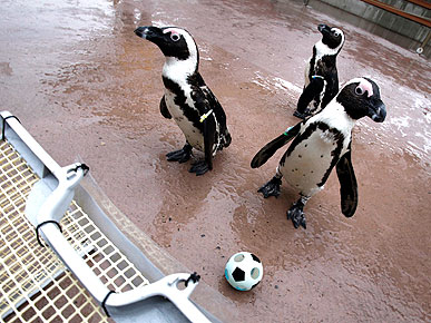 PHOTO: Soccer-Playing Penguins Score Big in Japan