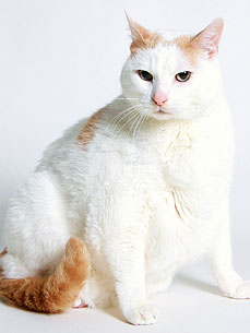 Prince Chunk, the Famously Fat Cat, Gives a Lift to Needy Pet Owners