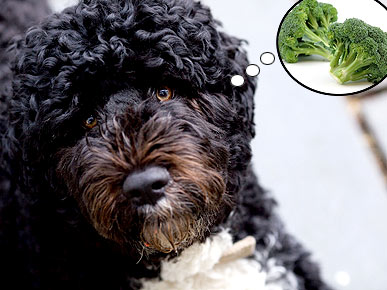 Bo Likes Broccoli – What Greens Do Your Pets Love?