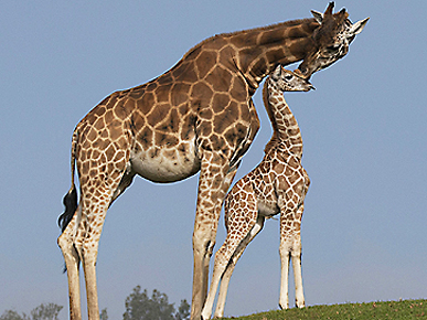 Aw  Giraffe Gives Her ...