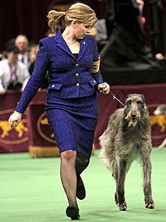 Scottish Deerhound Wins Westminster Dog Show 2011
