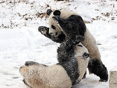 Cute Photo: Panda Acrobatics in the Snow