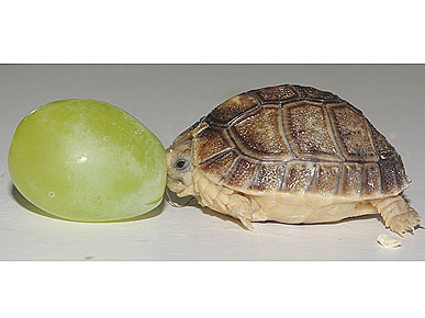 The Water Bowl: Tortoise Meets a Grape His Own Size! Plus, Jesse Eisenberg on Animals
