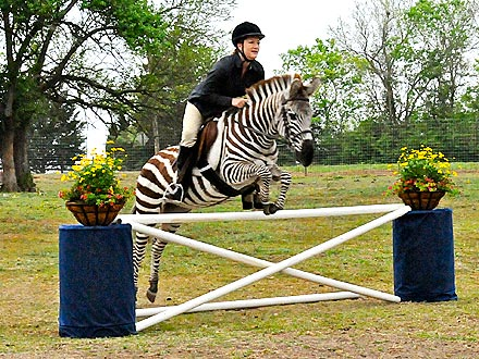Zebra Jumps Like Horse (Photo)
