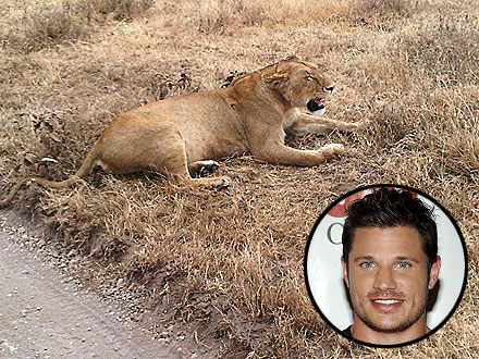 Nick Lachey Sees a Lion on Africa Adventure