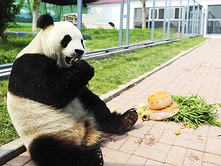 Fun Photo: Panda Has His Cake – and Eats It!