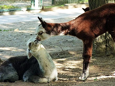 Kissing Llamas: Photo