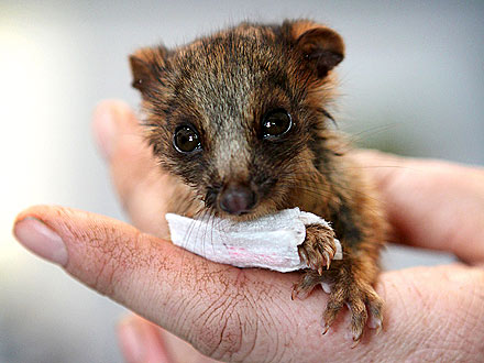 Injured Baby Possum Wears Teeny-Tiny Splint