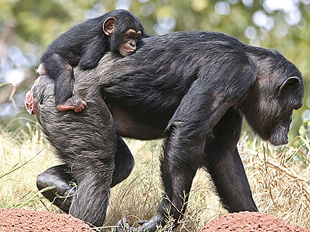 Aww! Chimpanzee Gets Piggyback Ride from Adopted Family