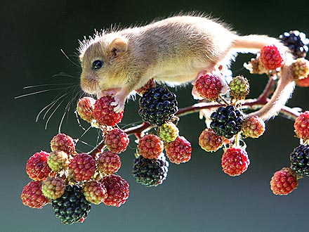 Berry Cute! Tiny Dormouse Dines on Fruit