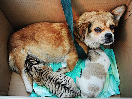 Dog Is Surrogate Mom to Abandoned Siberian Tiger