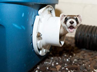 The Water Bowl: Endangered Ferrets Go to 'Boot Camp'
