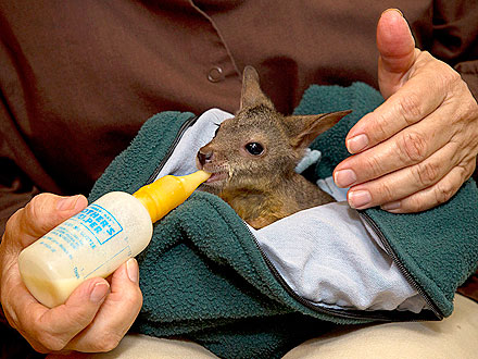 Baby Wallaby Falls Out of Mom's Pouch and Into Zoo's Arms