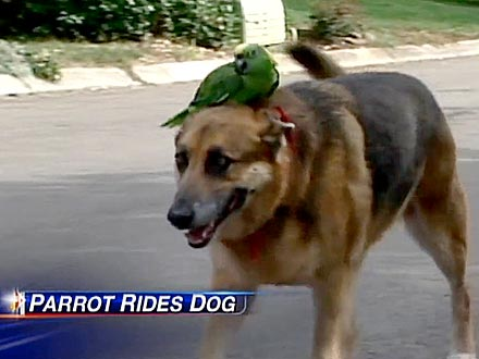 Parrot Likes to Hang Out with German Shepherd