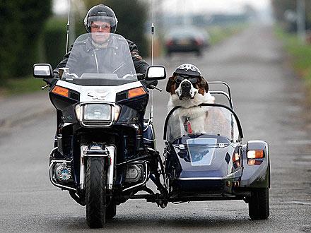 Motorcycle Hound! St. Bernard Rides a Sidecar
