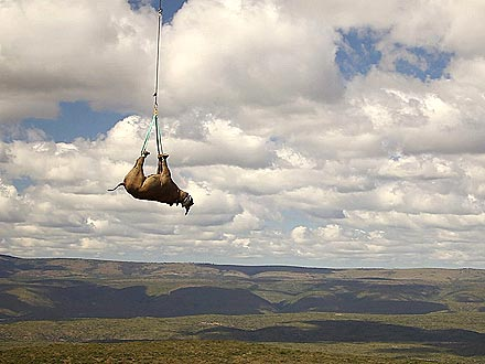 Stunning Photos: Black Rhino Gets Airlifted by Helicopter