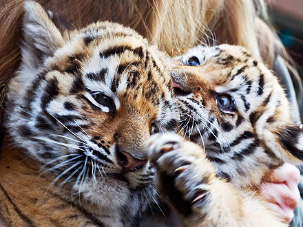 Siberian Tiger Cubs Make Debut at German Zoo