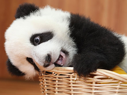 Aww! Baby Panda Plays with New Year's Presents
