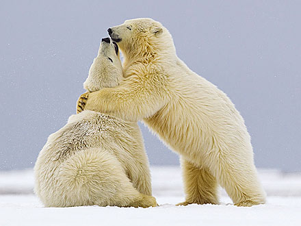 Bear Hug! Polar Bears Snuggle Up in the Snow