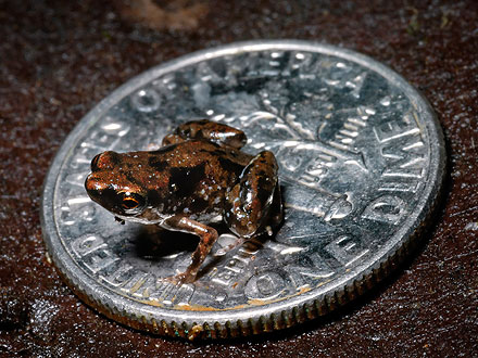 World's Smallest Frog Discovered in Papua New Guinea