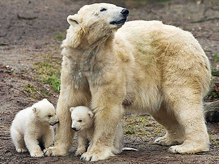 Double Dose of Cute! Polar Bear Twins Make Their Debut